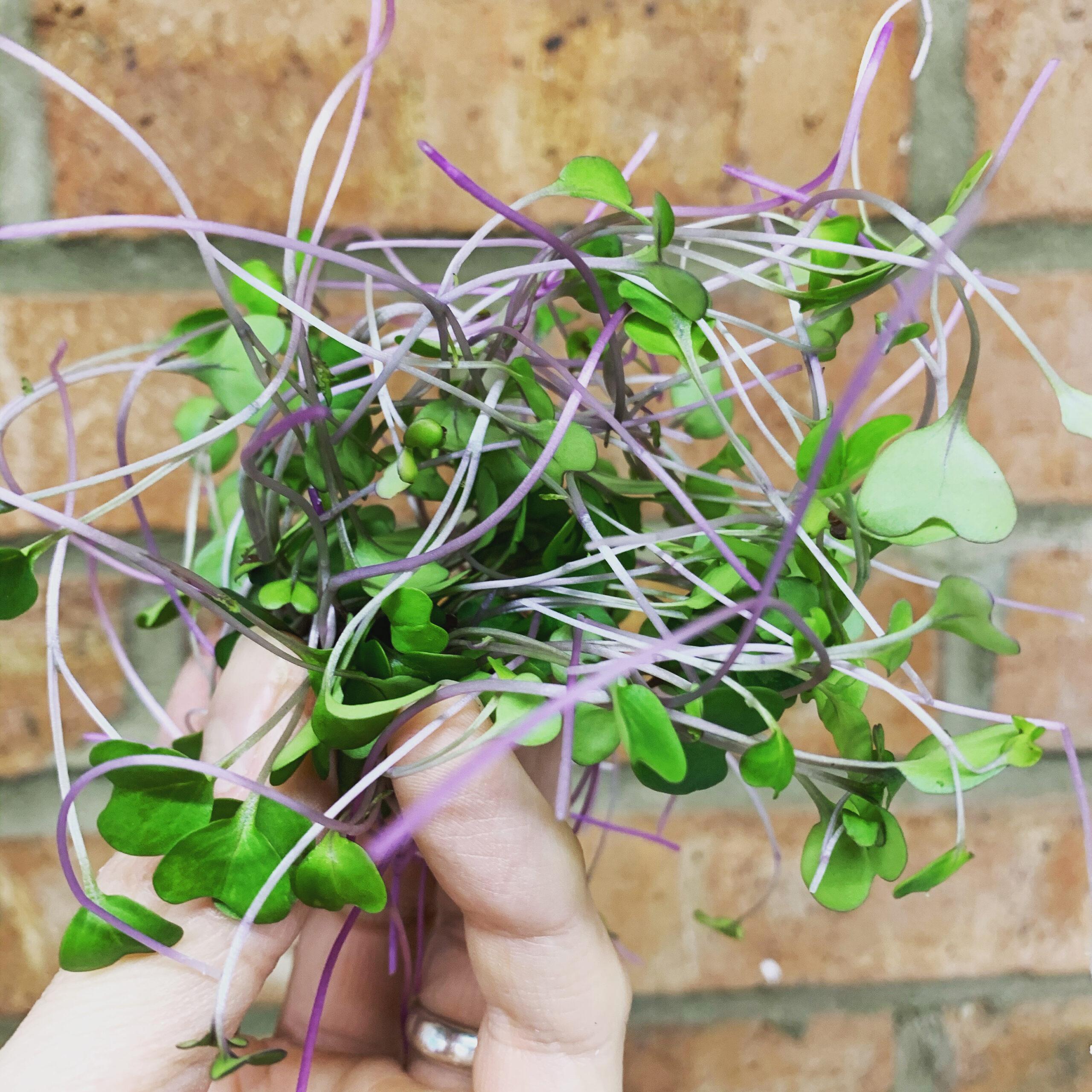 Lightfoot's Farm Microgreens indoor growing